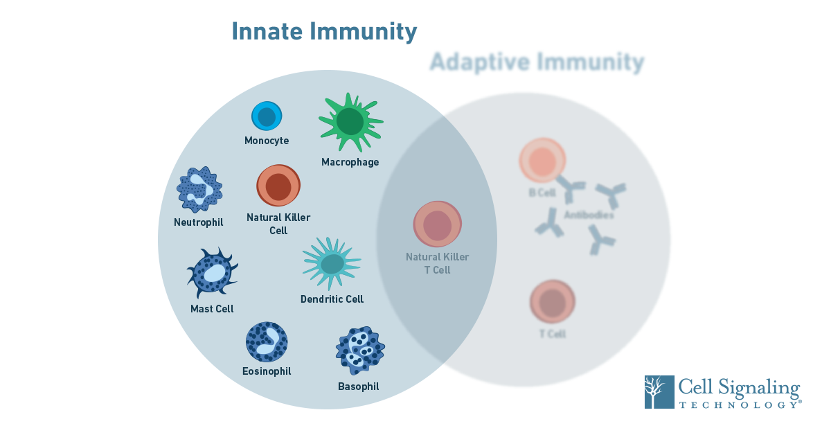 19-IMO-12805-Immunology-SEO-Blog-Content-Innate-1200x628