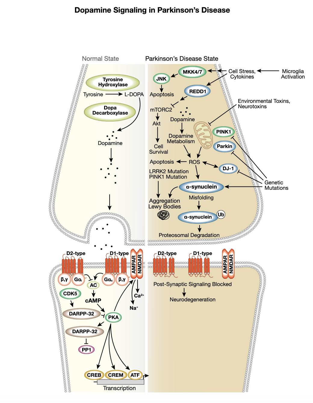 図6 パーキンソン病におけるドーパミンシグナル伝達経路