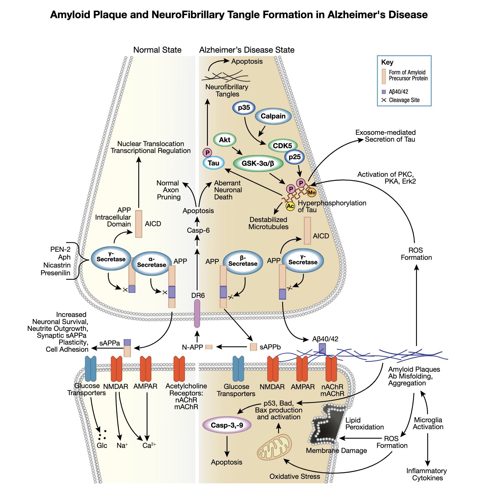 アルツハイマー病シグナル伝達パスウェイにおけるアミロイド斑の形成と神経原線維変化