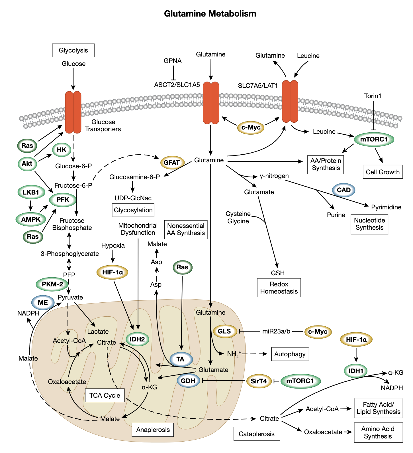 グルタミン代謝シグナル伝達のインタラクティブ パスウェイ