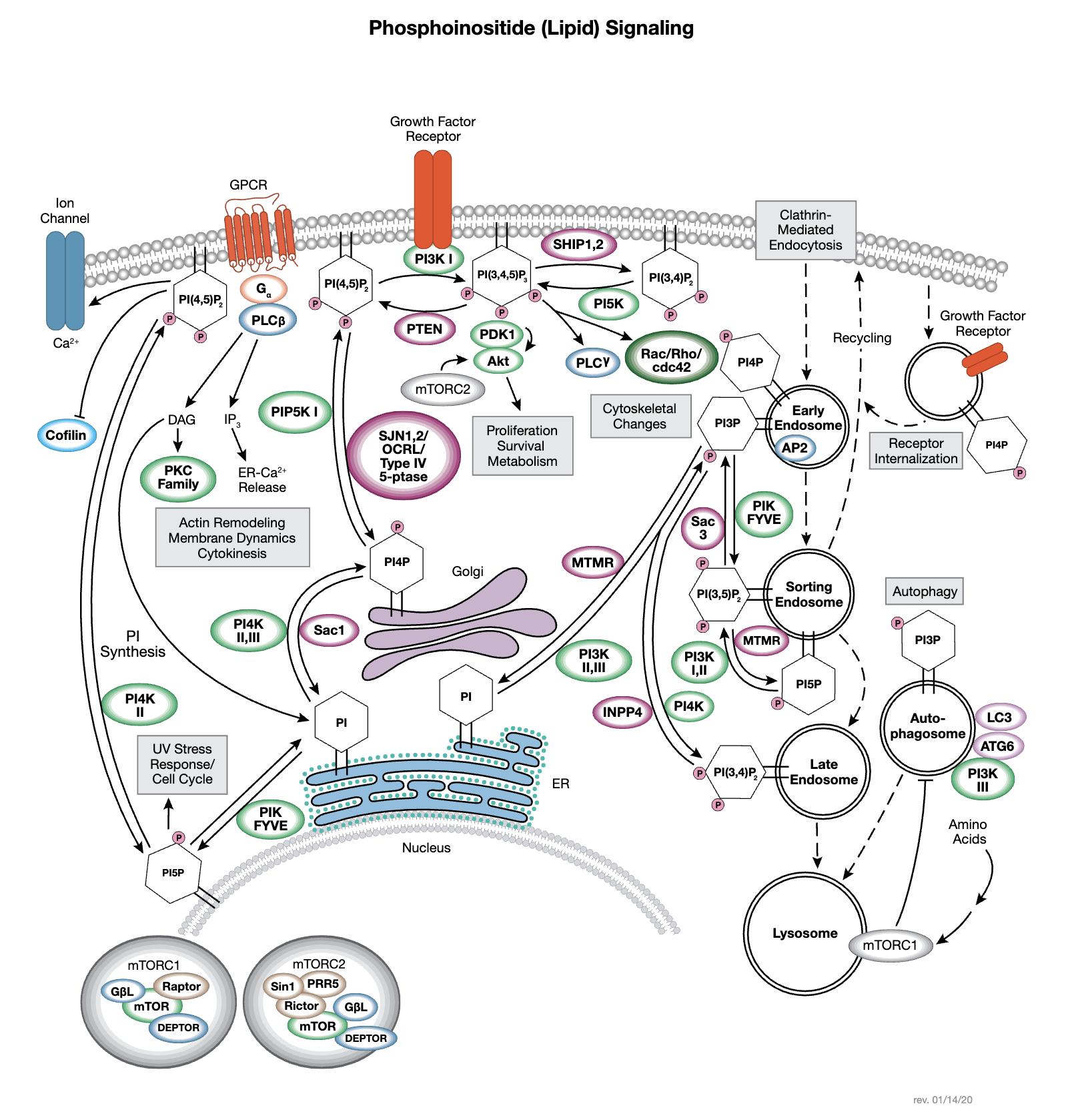 ホスホイノシチド (脂質)シグナル伝達