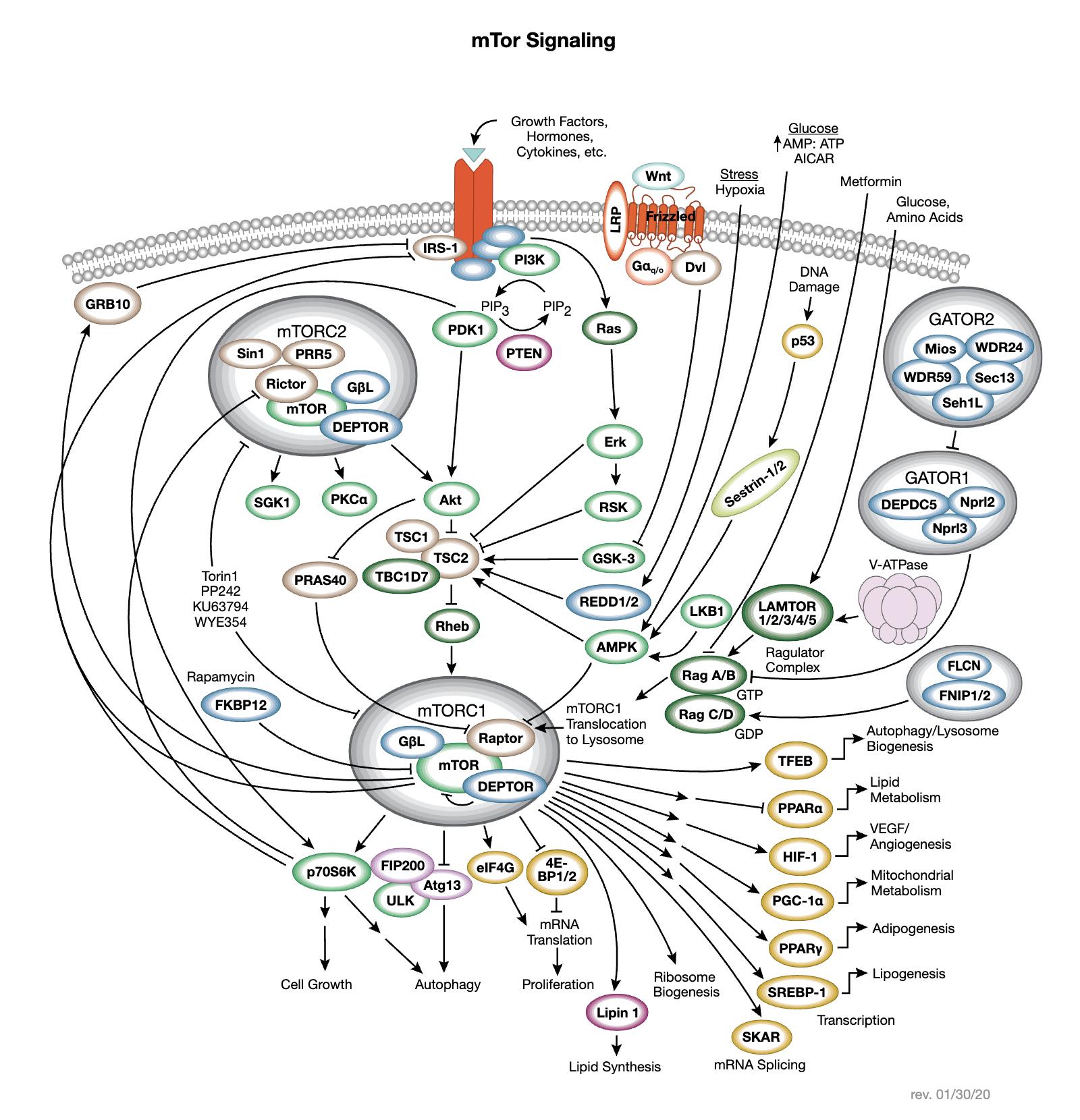 mTORの相互作用シグナル伝達経路