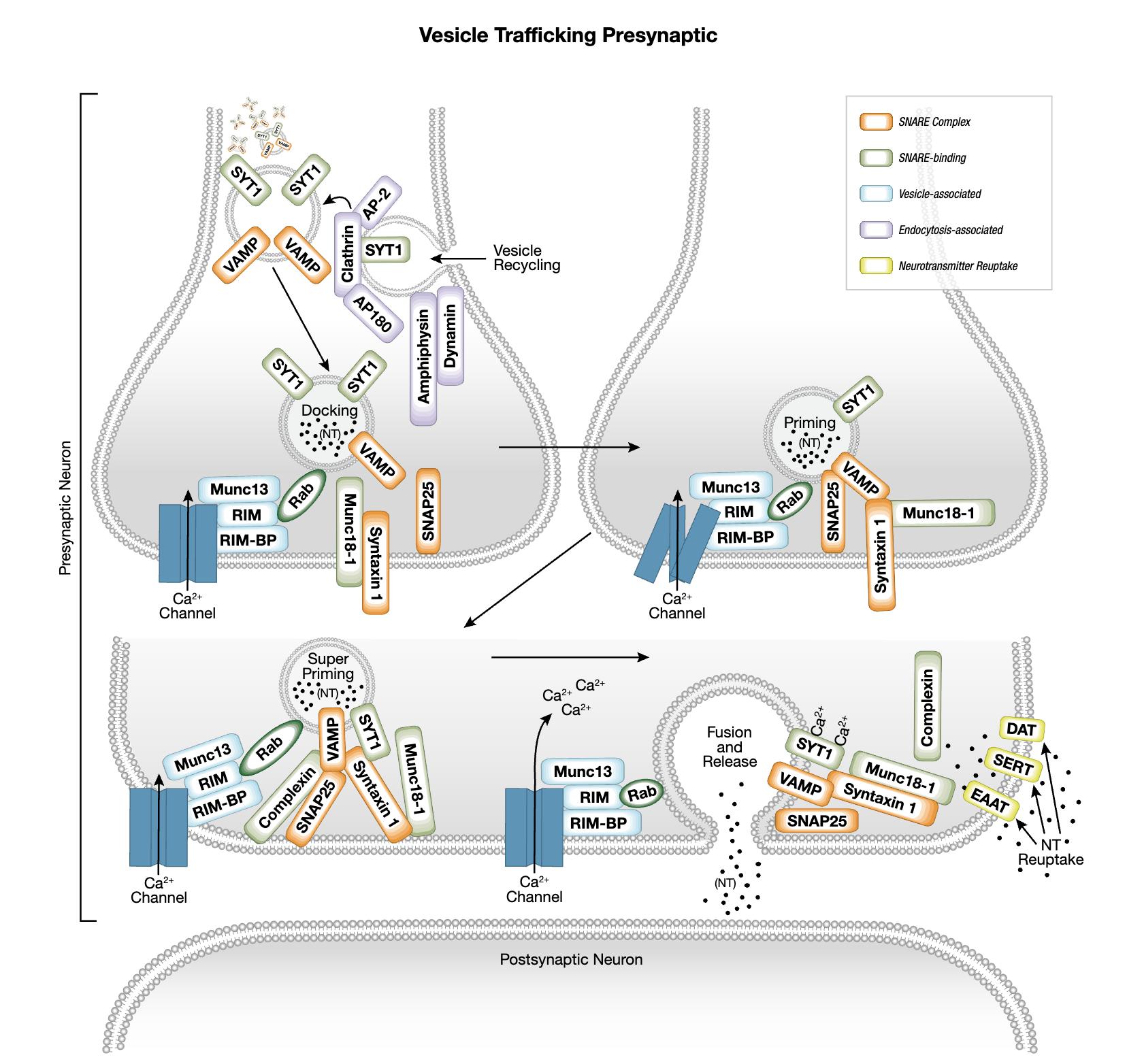 シナプス前小胞輸送シグナル伝達のインタラクティブパスウェイ