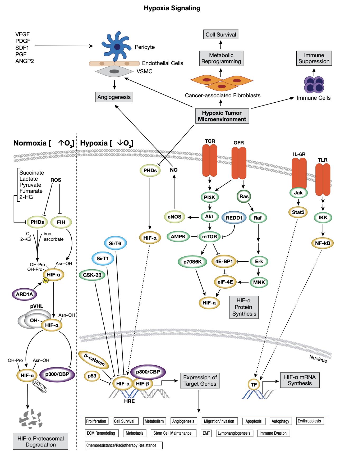 低酸素シグナル伝達のインタラクティブ パスウェイ